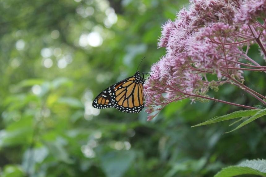 monarch at Olbrich Gardens