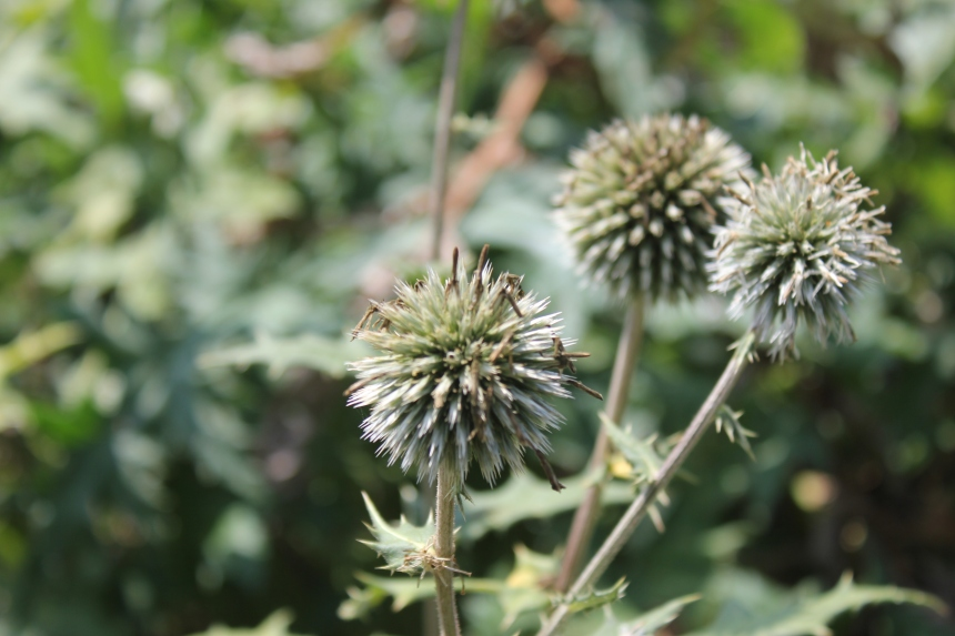 globe thistle at Olbrich Gardens