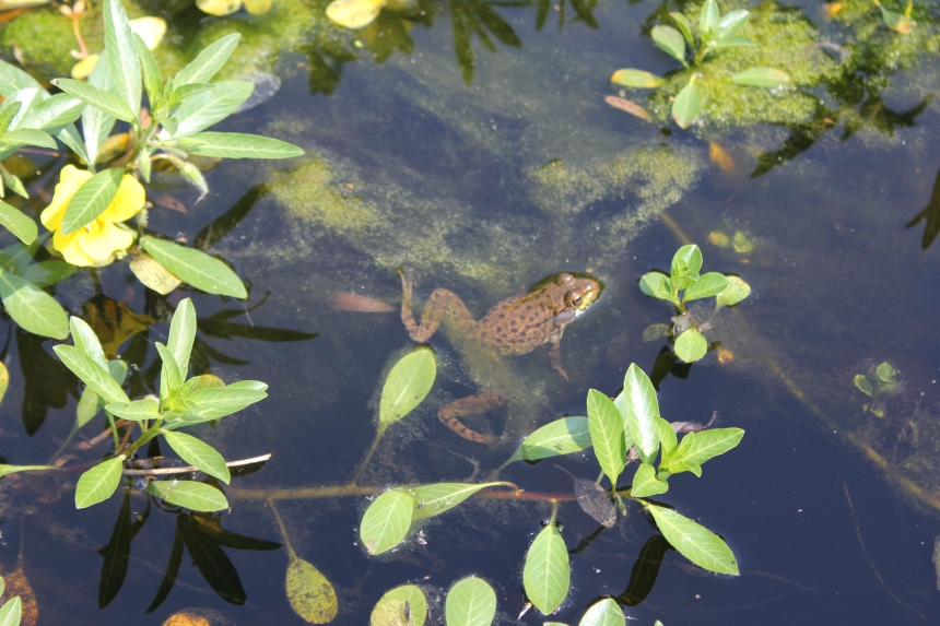 frog at Olbrich Gardens