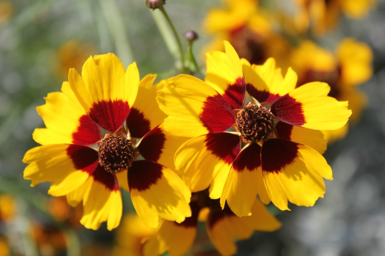 coreopsis at Olbrich Gardens