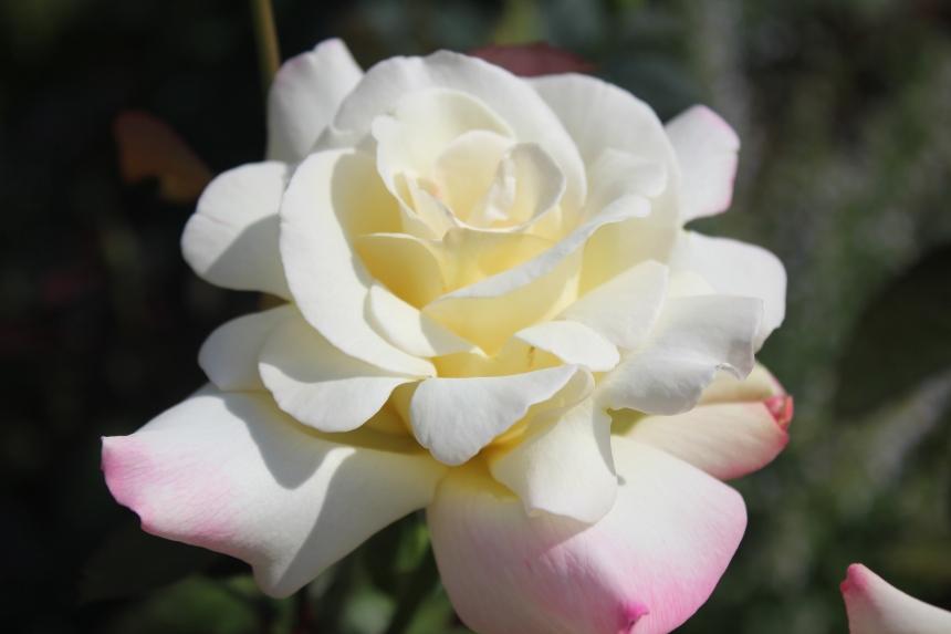 rose at Olbrich Gardens