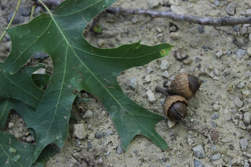 oak leaves and acorns on the trail