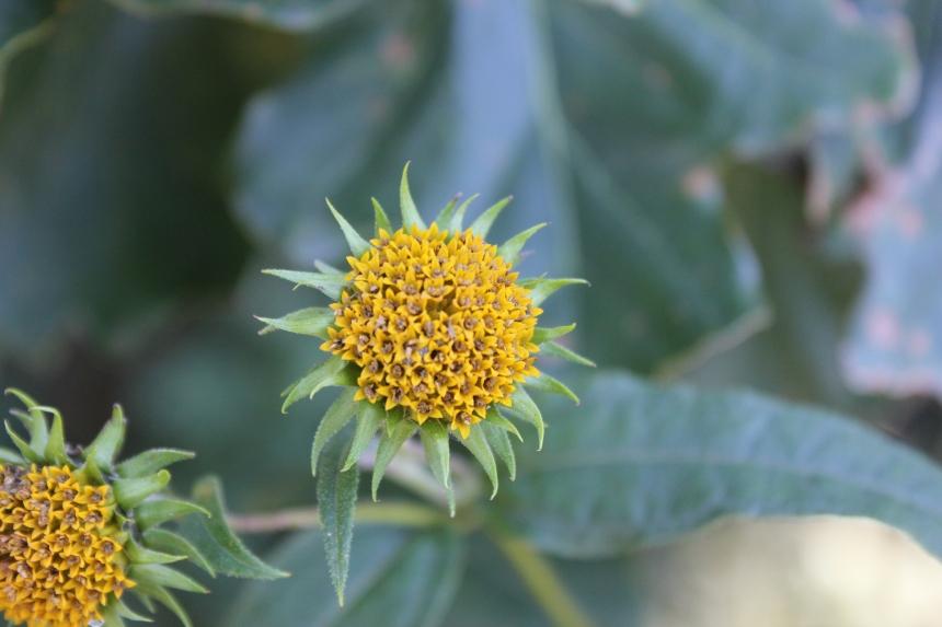 wild sunflower opening