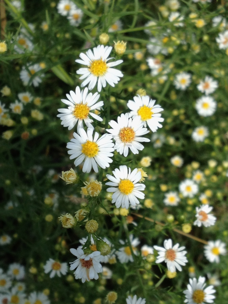 wild asters at Indian Lake trail