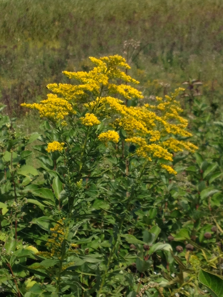 goldenrod at Indian Lake trail