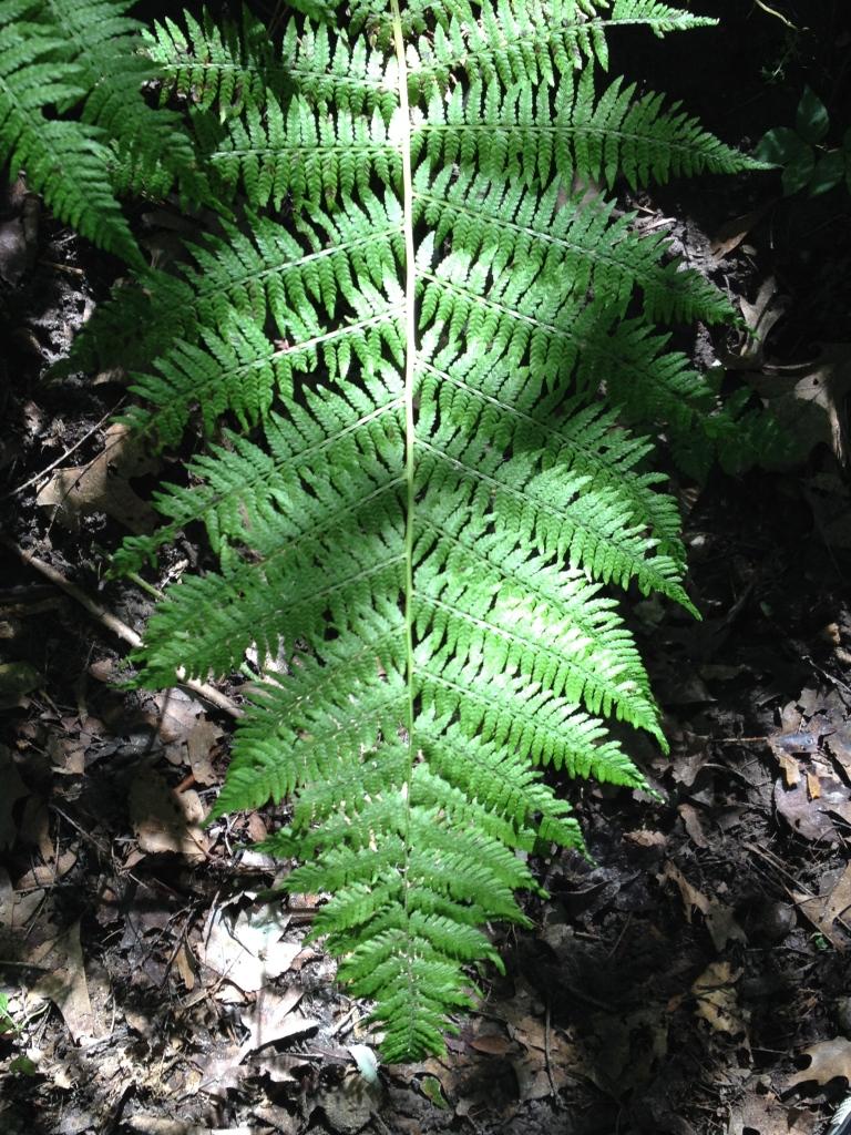 ferns at Indian Lake trail