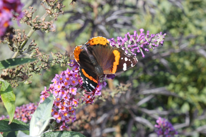 red admiral butterfly at botanical gardens