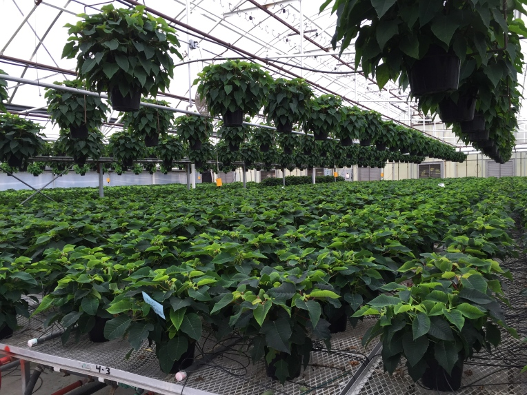 poinsettias at the greenhouse