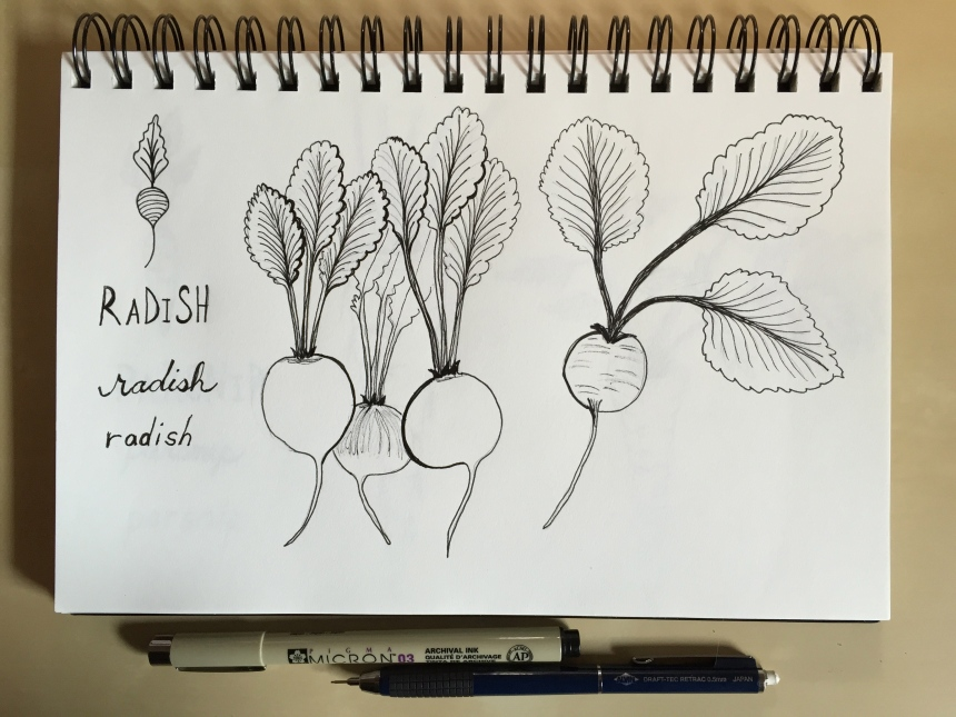 sketchbook root vegetables - radishes