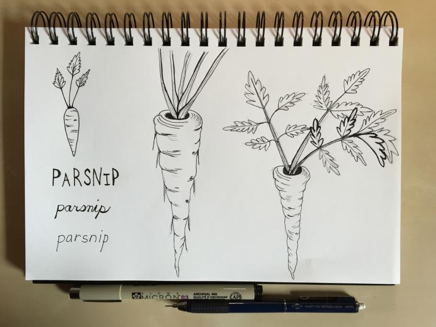 sketchbook root vegetables -parsnip