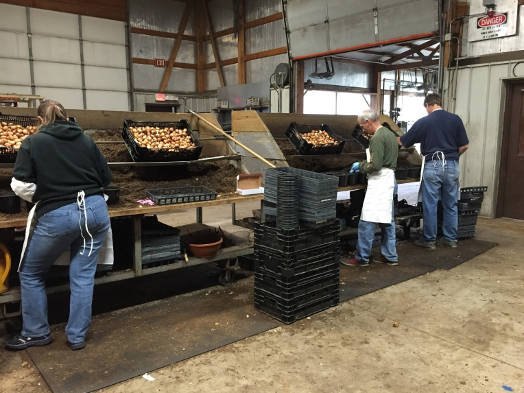 planting Easter lilies