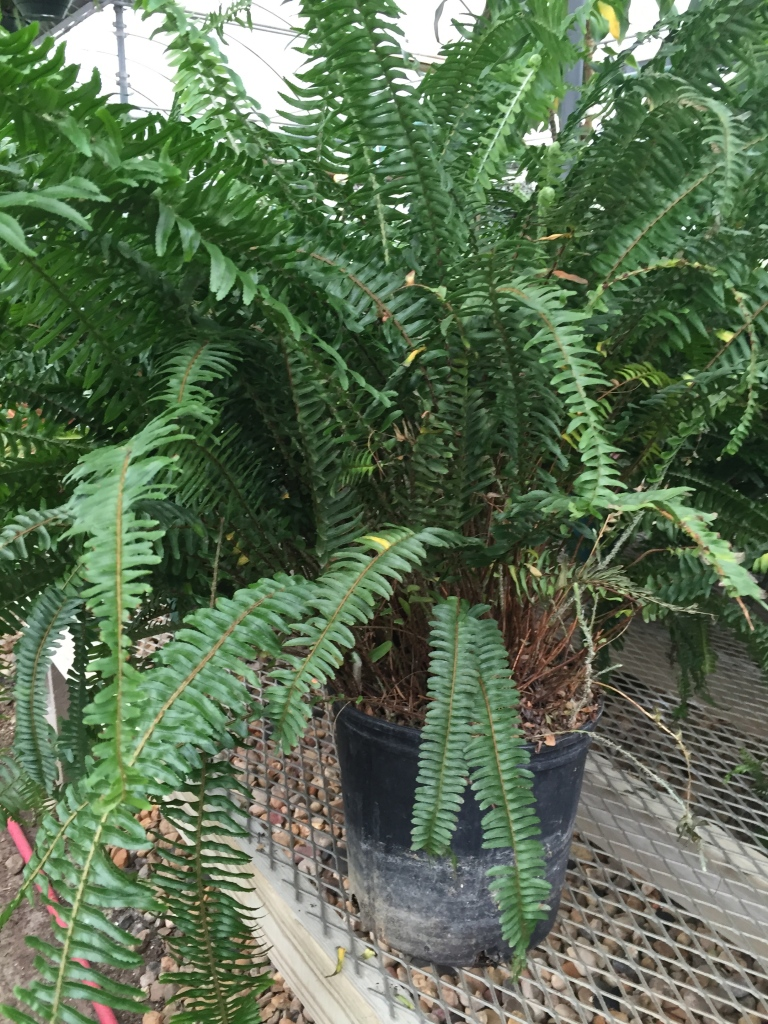 greenhouse fern