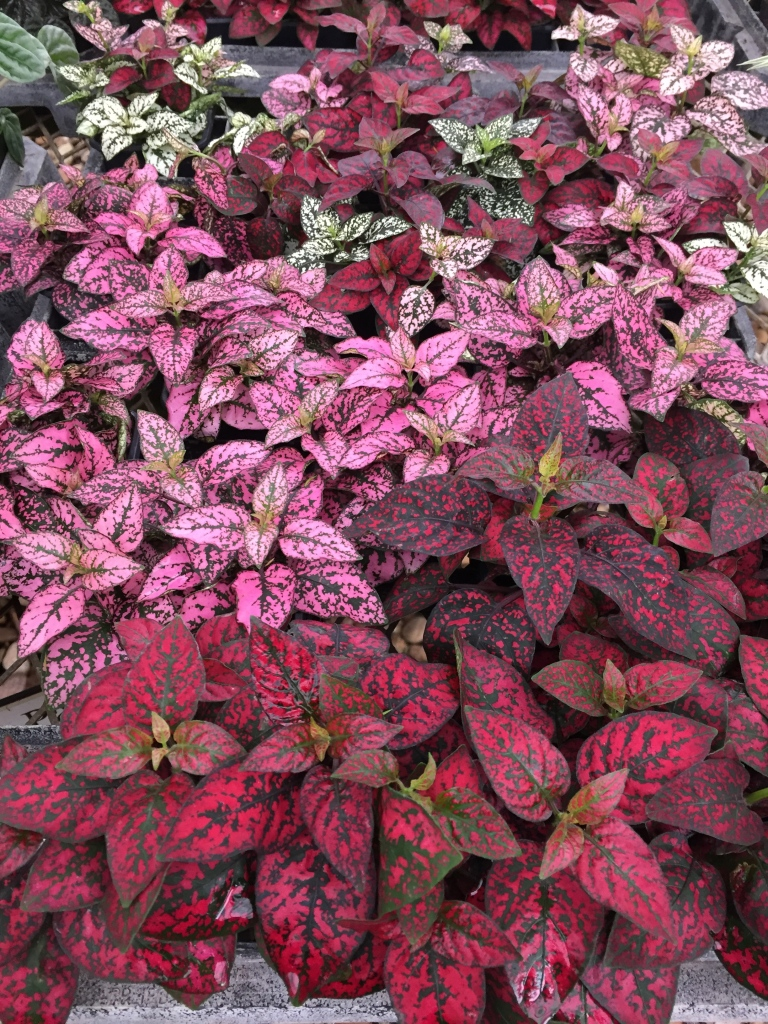 red pink and green leaves