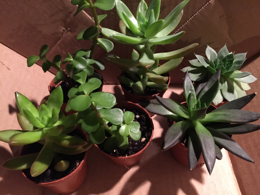 succulents from the greenhouse