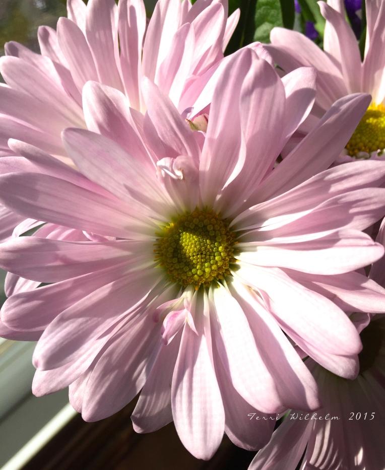 fres hcut daisy
