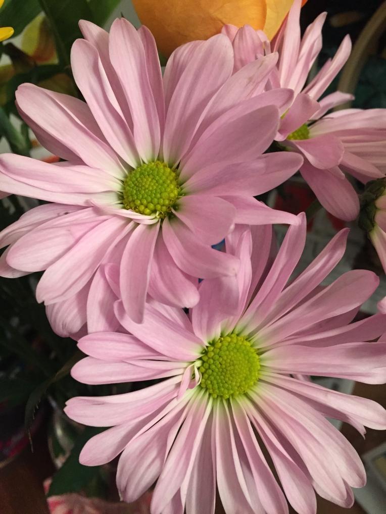 fresh cut pink daisies