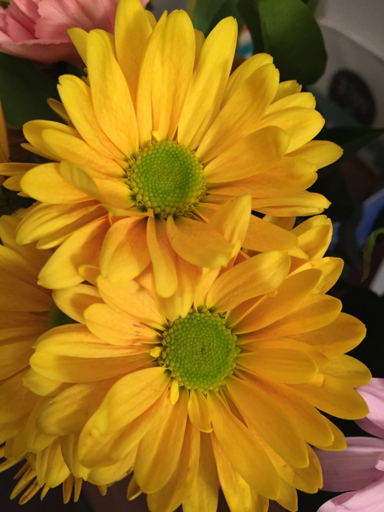 fresh cut  yellow daisies