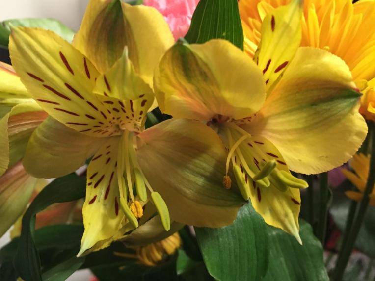 fresh cut yellow Alstroemeria