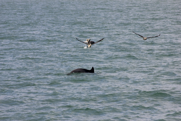 pelicans and dolphins