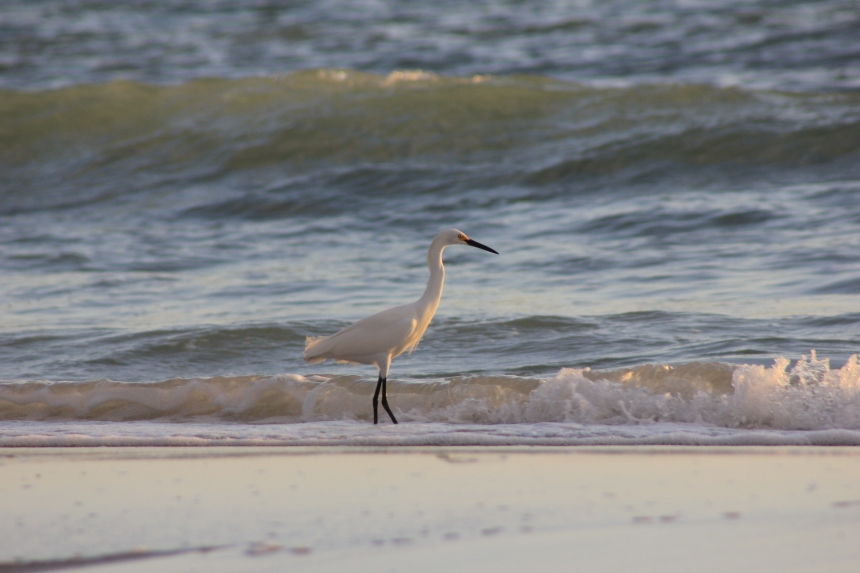 white ibis bird on beach