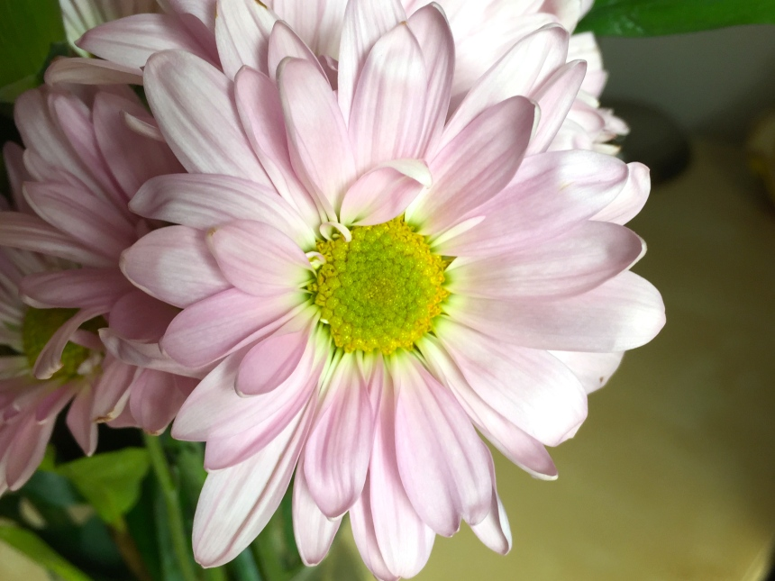 pale purple daisy