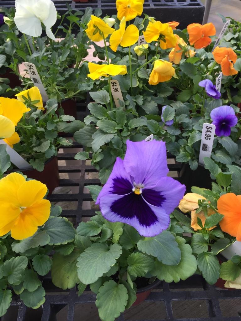 pansies at greenhouse
