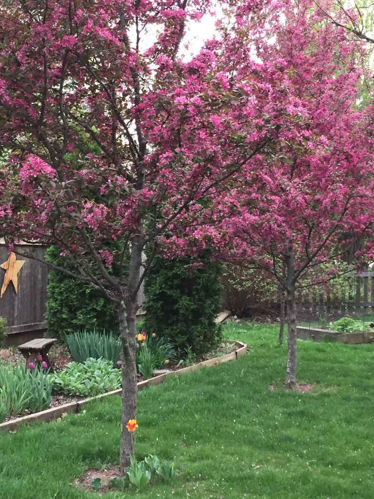 more crab apple trees in bloom