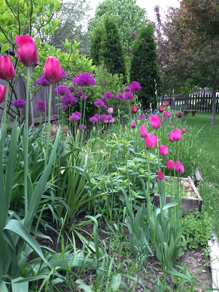 tulips and alliums