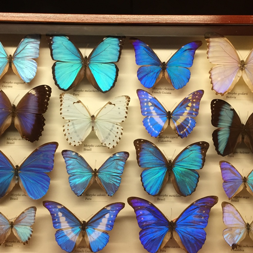 blue butterfly specimens