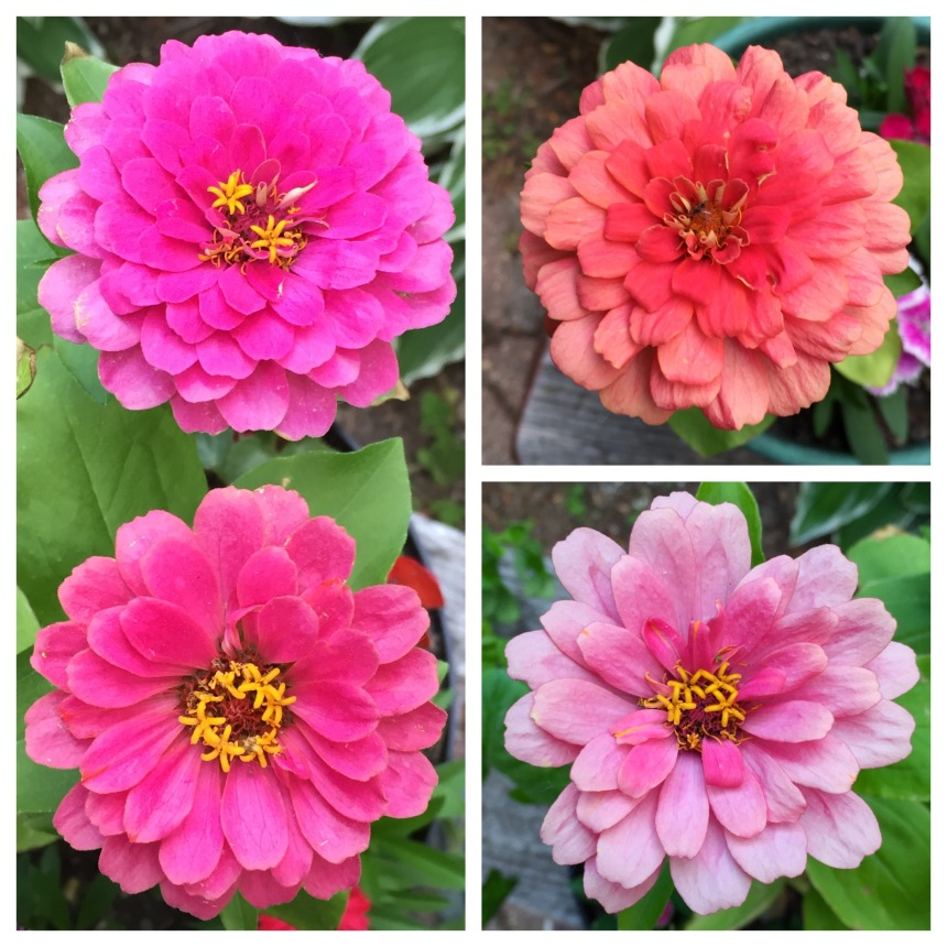 zinnias in June