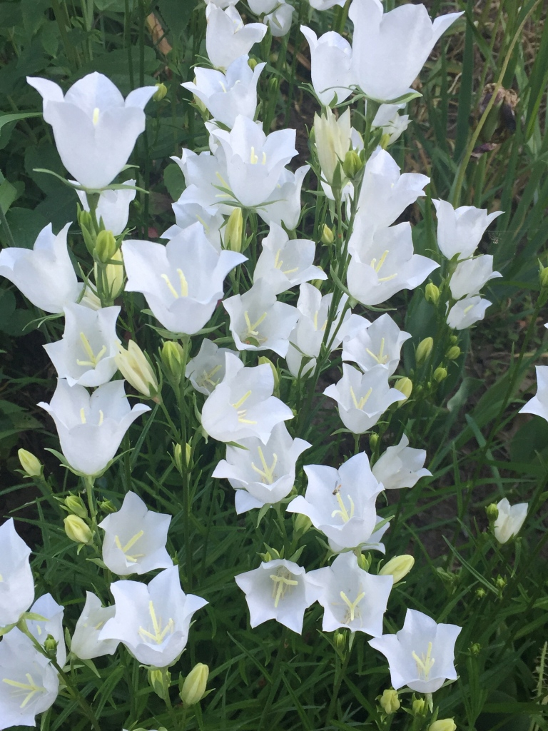 white bell flowers in June