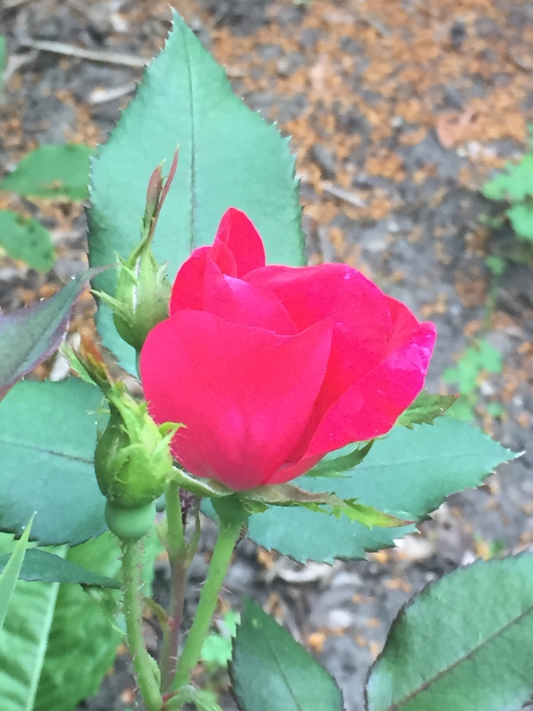 first rose of June