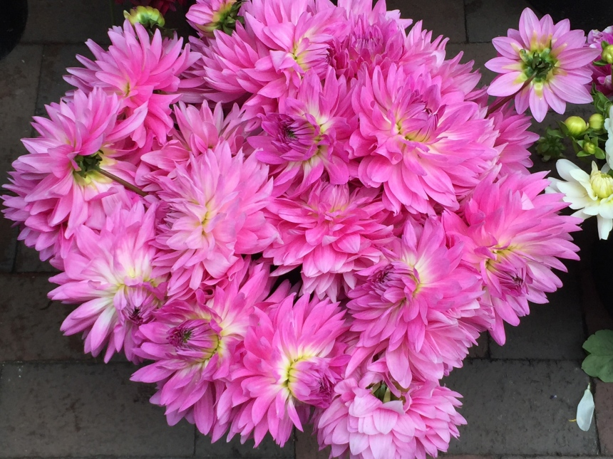 farmers market pink dahlias