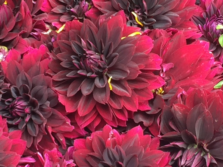 farmers market  red dahlias