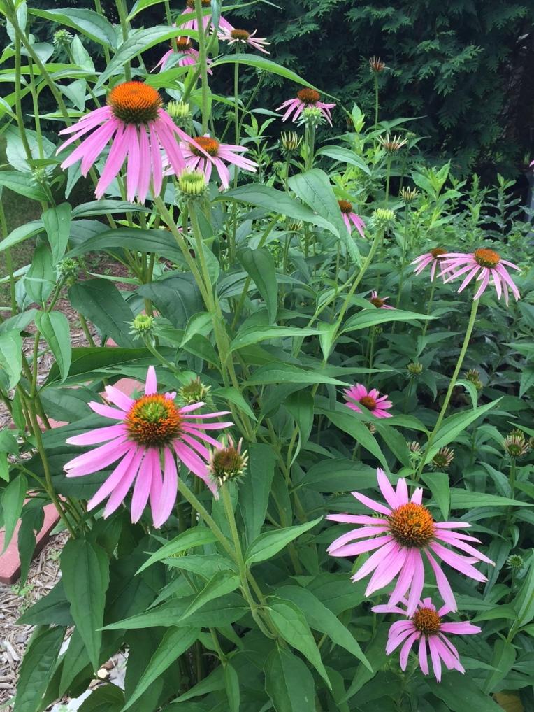 coneflower garden
