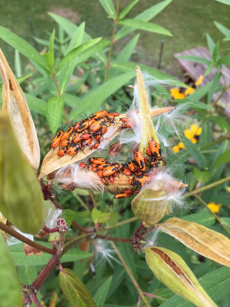 butterfly weed beetles