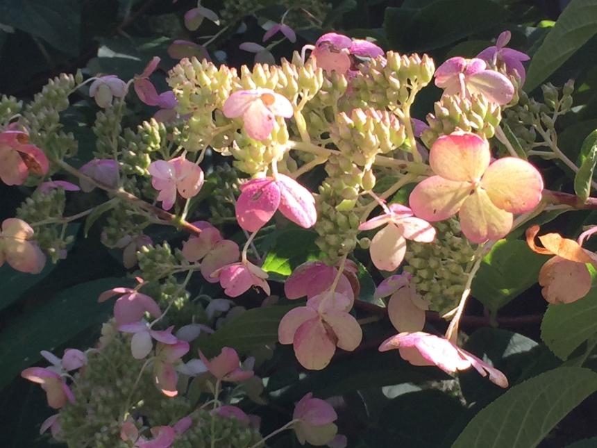 hydrangea tree in bloom