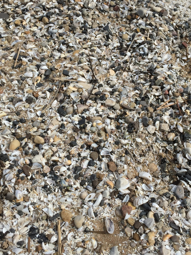 zebra mussel shells at Bradford Beach
