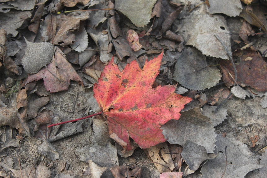 autumn maple leaf on the trail