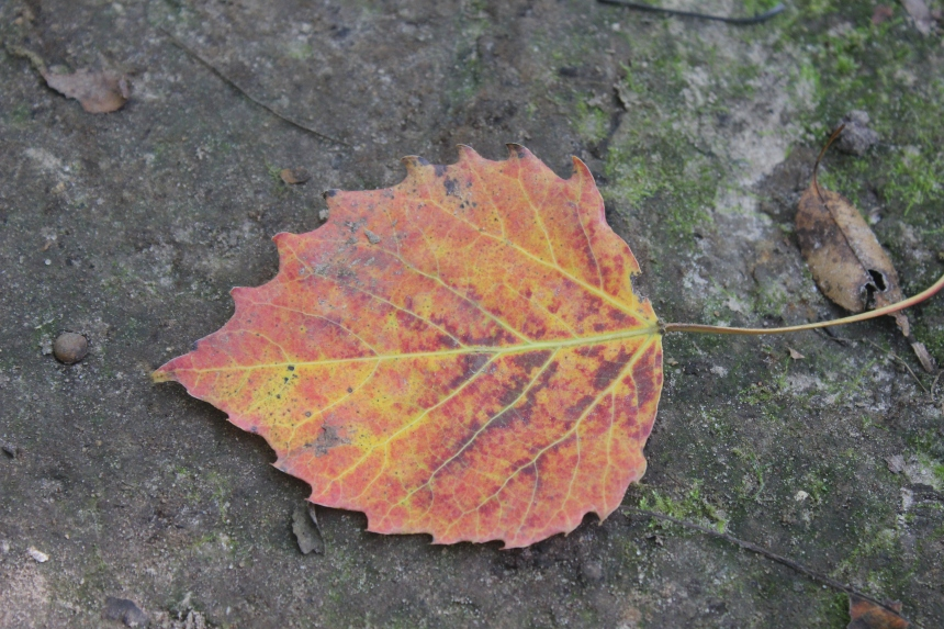 autumn leaf on the trail