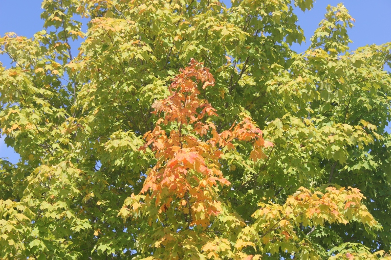 sweet gum trees turning color