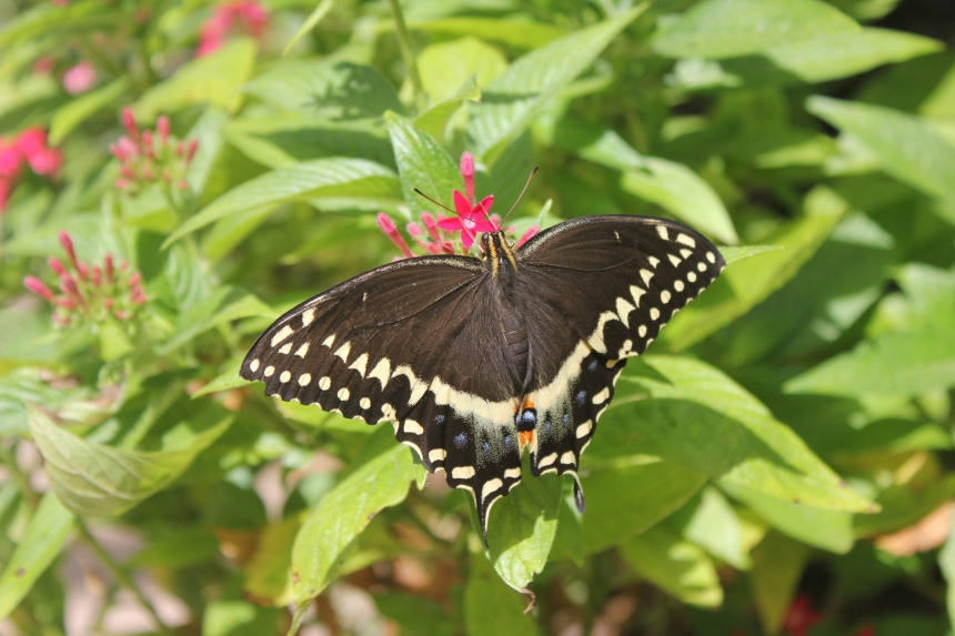 tiger swallowtail at botanical gardens