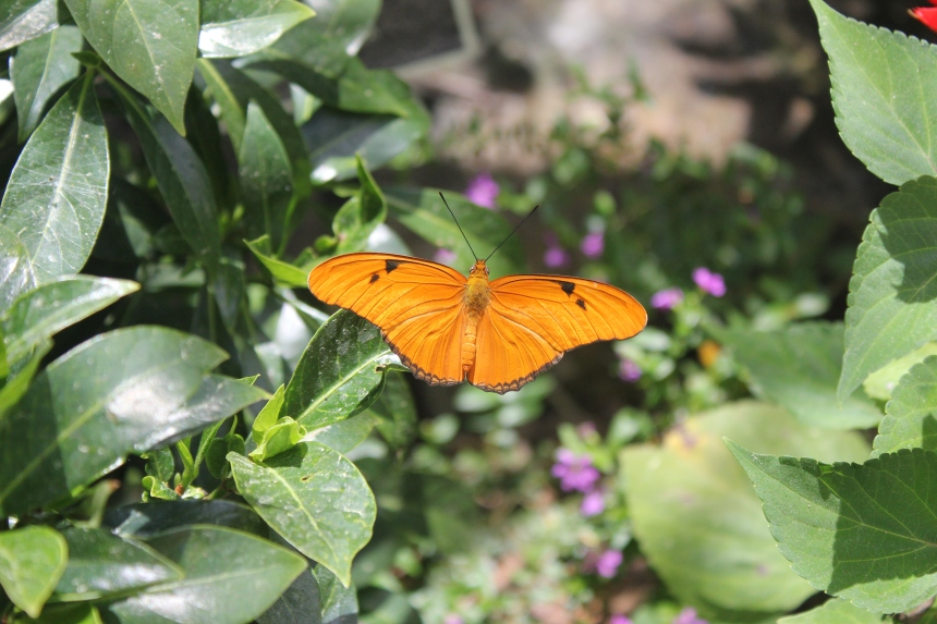 julia butterfly at botanical gardens