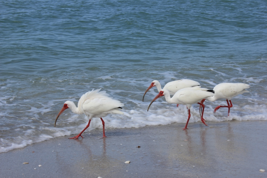 white ibis on the beach
